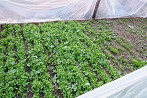 Community Garden sprouts